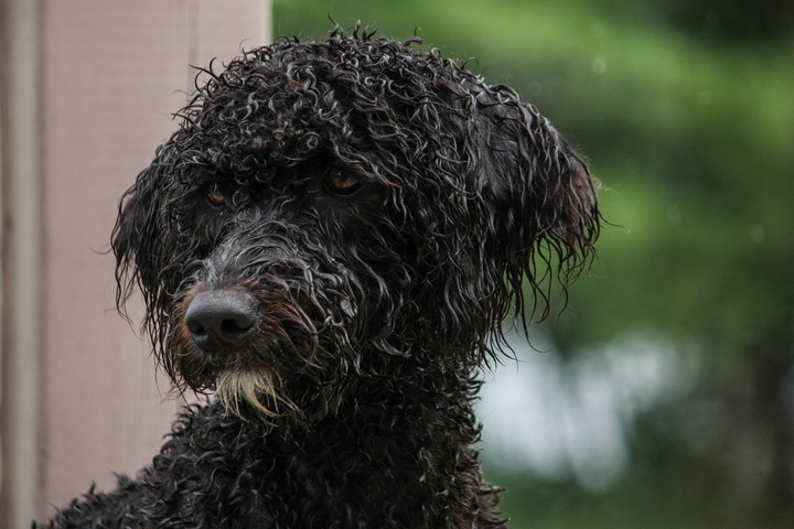5 Cool Facts About Portuguese Water Dogs Bold Face News